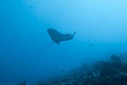 BD-150425-Maldives-8153-Aetobatus-ocellatus-(Kuhl.-1823)-[Ocellated-Eagle-Ray].jpg